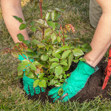 caring for shrubs in summer