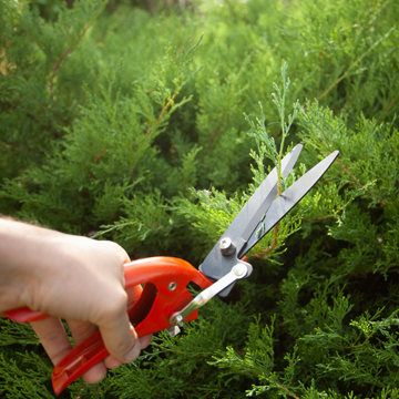 difference between tree shearing and pruning