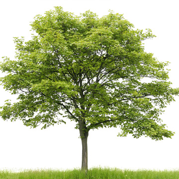 how to tell if deciduous tree needs to be cut down