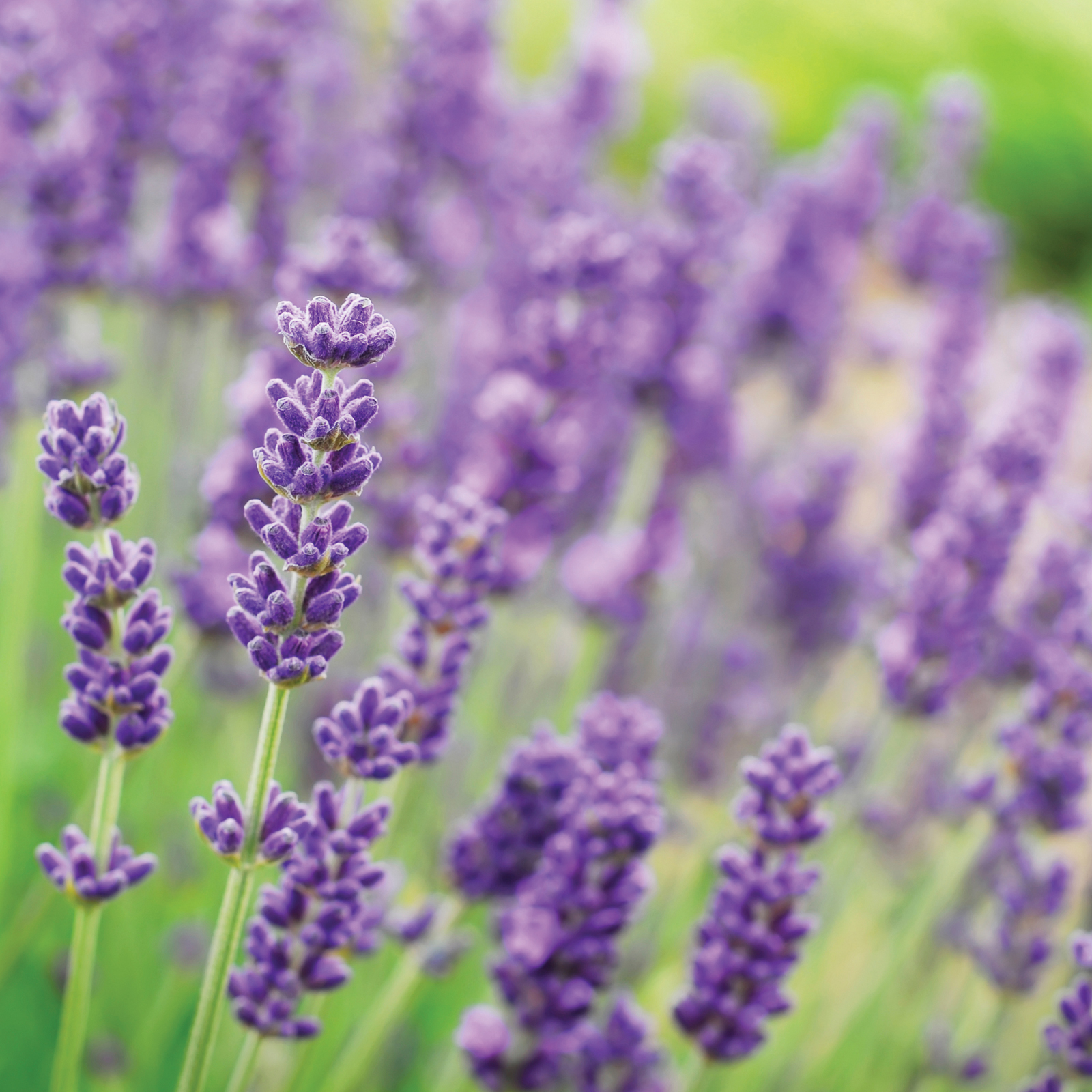4. Lavender