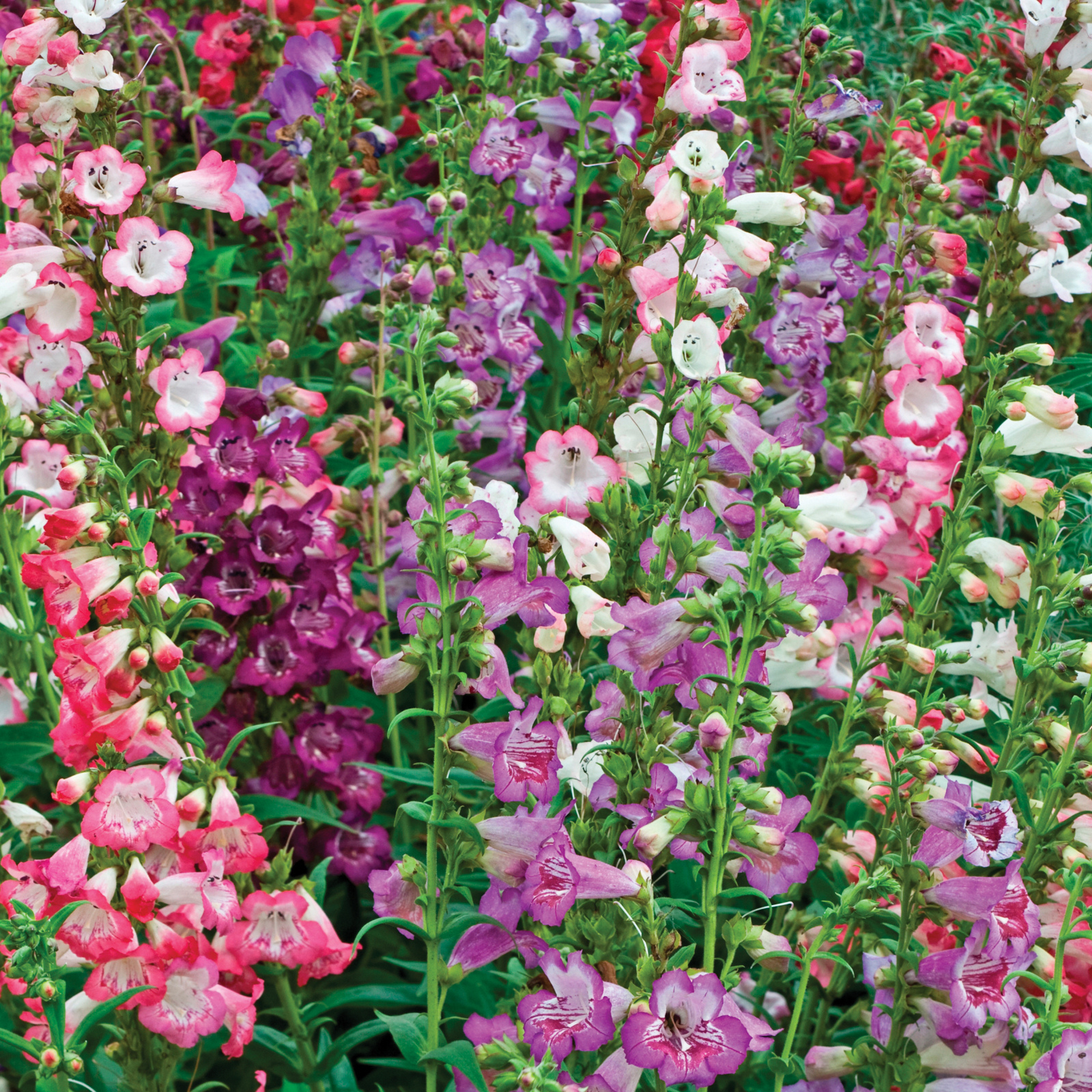 6. Penstemon Wedding Bells