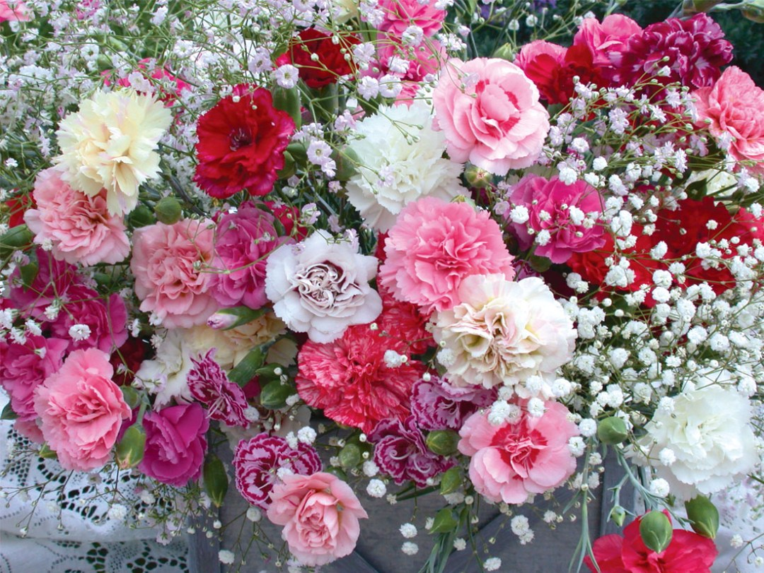 Gypsophila Mixed with carnations.