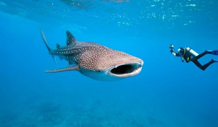 Ningaloo - Austrália - Mergulho com Tubarão-Baleia