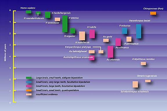 diagram of evolution timeline bean seed worksheet human chart