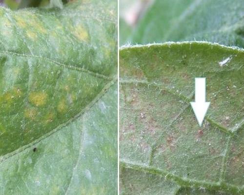 Gemse Thrips Raupen Fliegen und Spinnmilben bekmpfen