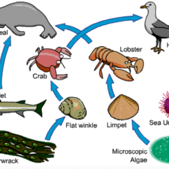 Kelp Forest Food Web Diagram Double Gang Light Switch Wiring Sea Urchin Chain Foodfash Co