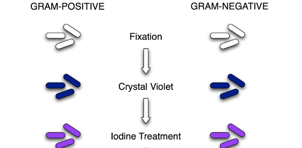 What are the factors that affect the gram staining