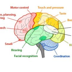 Synapse Diagram Label Guitar Wiring Diagrams 1 Pickup Volume Trivia Questions Over Nervous System - Proprofs Quiz