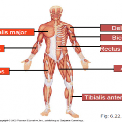 Major Muscle Diagram To Label Male Chart Hap 1 The Muscular System Flashcards By Proprofs Groups On This