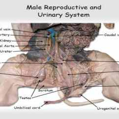 Fetal Pig Reproductive System Diagram Ford F350 Trailer Wiring Practical Exam Flashcards By Proprofs
