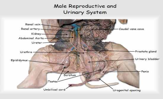 fetal pig reproductive system diagram smoke detector wiring pdf practical exam flashcards by proprofs