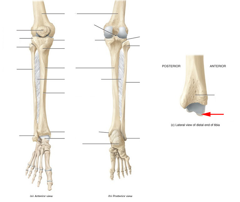 Posterior Distal Tibia Anatomy