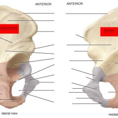 Bones Human Skeleton Diagram Back Toyota 4runner Wiring Radio Skeletal Anatomy Of Pelvic Girdle Part I Flashcards By Proprofs