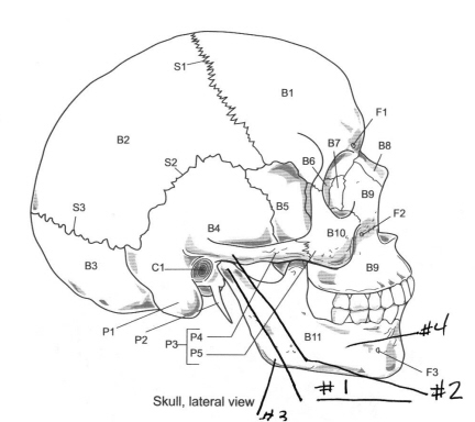 axial skeleton skull diagram lymph nodes in groin location flashcards by proprofs