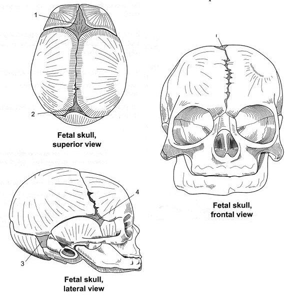 Axial Skeleton; Skull Flashcards by ProProfs