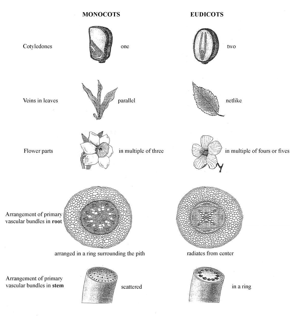 dicot leaf labeled diagram weider pro 4950 cable bio lab midterm 4 cont and 5 flashcards by proprofs