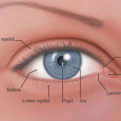 Parts Of The Eyelid Diagram Cal Spa Ps4 Wiring Eye And Definitions Flashcards By Proprofs