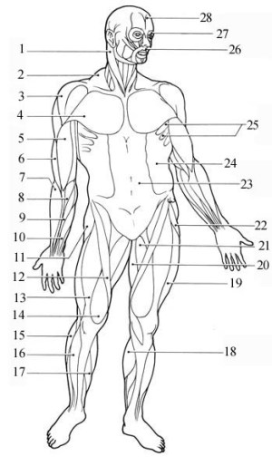 Muscles And Their Functions Flashcards by ProProfs