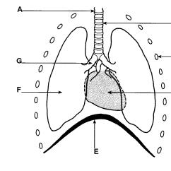 Heart Diagram Quiz Games Brain Anatomy Parts Of The Cardiac