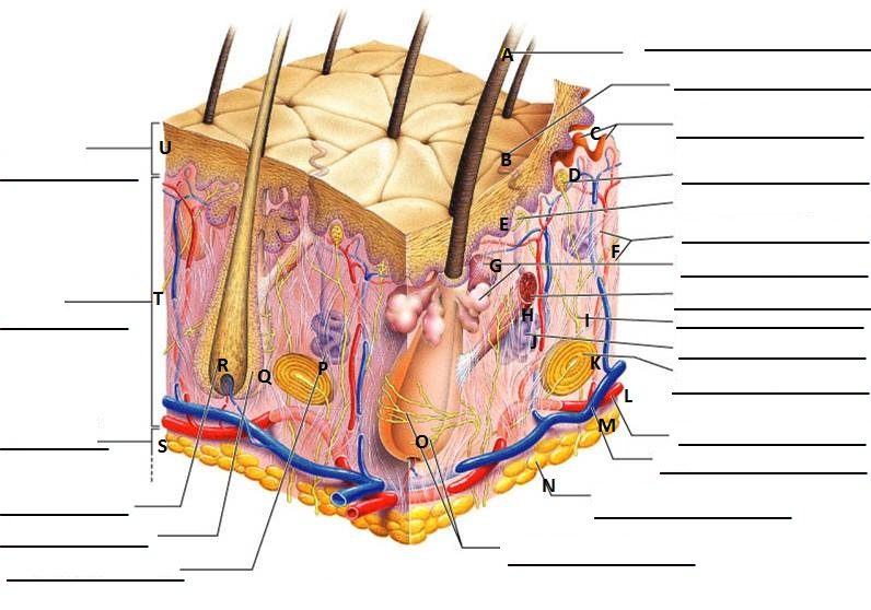 the human skeleton diagram fill in blanks jacuzzi j 345 wiring skin structure quiz - proprofs