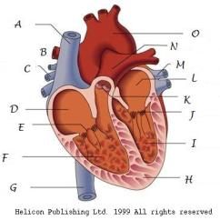 Parts Of The Ear Diagram Worksheet 240v Photocell Wiring Interesting All About Hearts - Proprofs Quiz