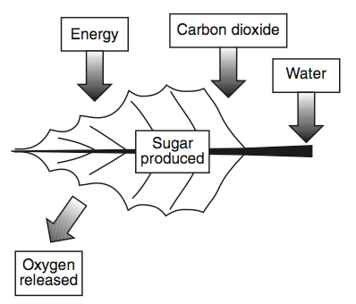What plant process is depicted in the diagram below