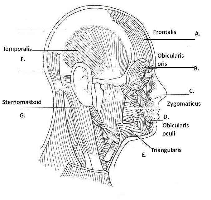 blank diagram of head muscles