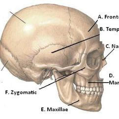 Anatomy Skull Diagram Top Carrier Infinity Furnace Wiring Muscles And Bones Of The Face - Proprofs Quiz