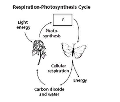 Photosynthesis And Cellular Respiration Quiz (4