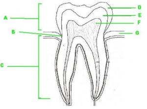 Label The Parts Of The Tooth  ProProfs Quiz