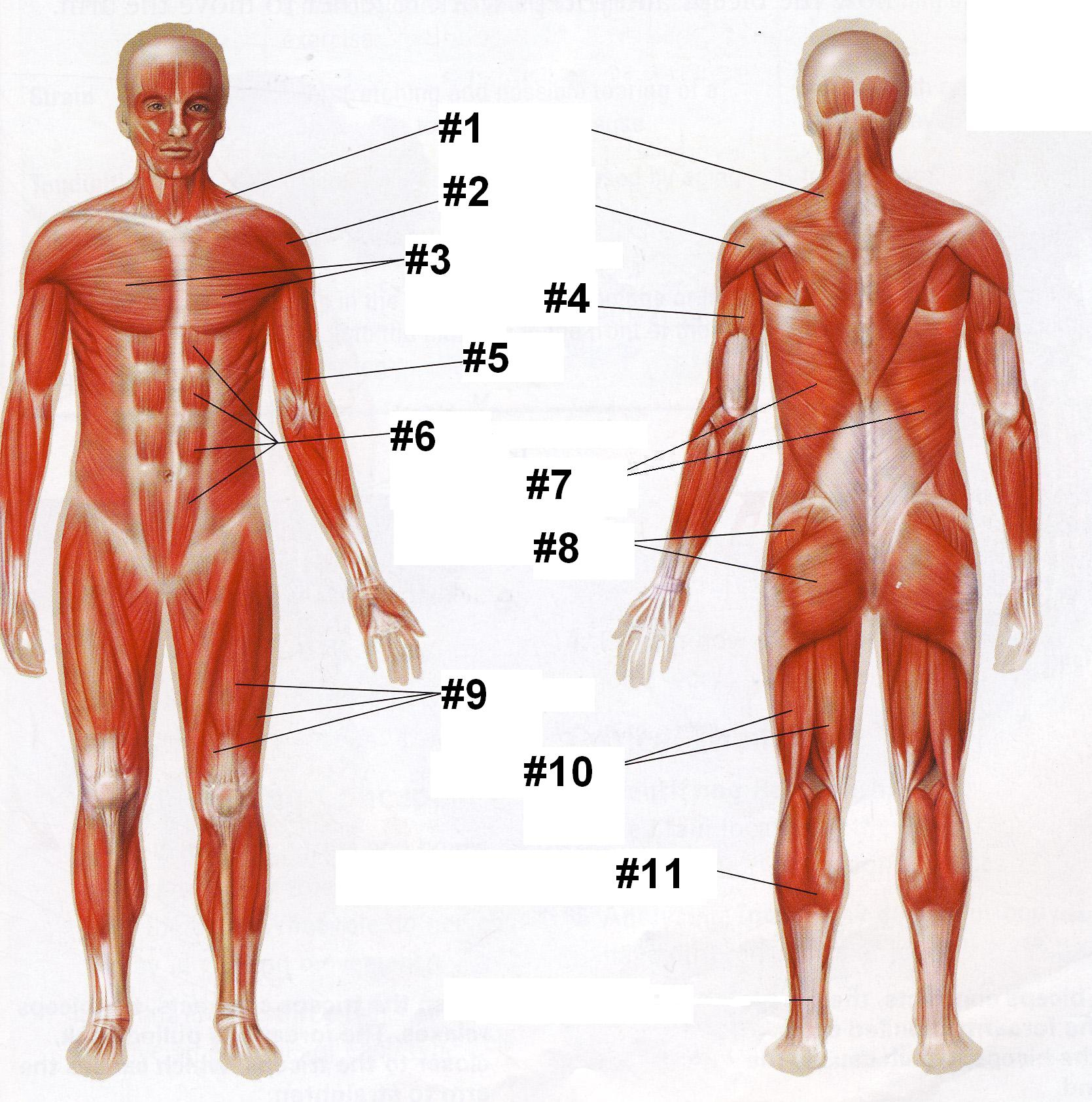 Human Muscle Anatomy Quiz Questions