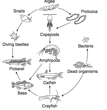 Mobile/pond Food Web Diagram Sketch Coloring Page