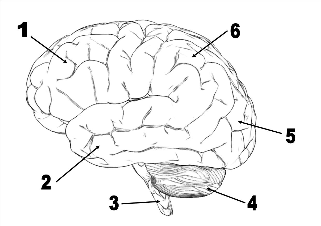 Neuroscience Quizzes, Trivia, Questions & Answers