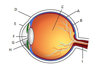 Do You Know All Eye Parts? - ProProfs Quiz