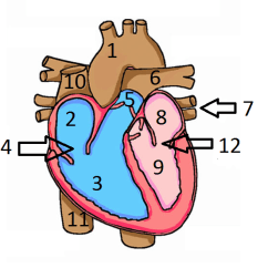 Label Heart Diagram Worksheet Answers Ceiling Pull Switch Wiring Of The Human Quiz Proprofs