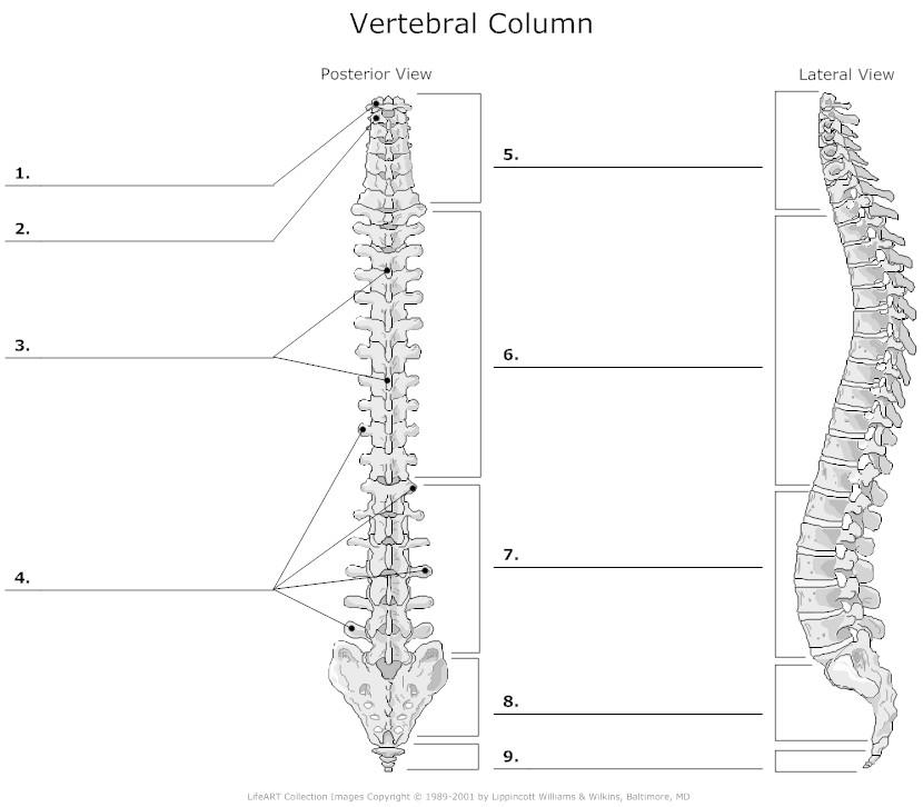 blank humerus diagram geo delco radio wiring vertebral column and rib cage - proprofs quiz