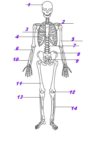 Human Skeleton Quiz Questions
