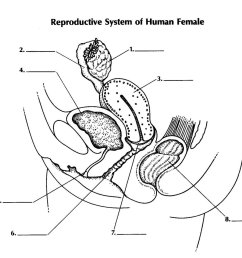 reproductive system of female [ 1360 x 1200 Pixel ]