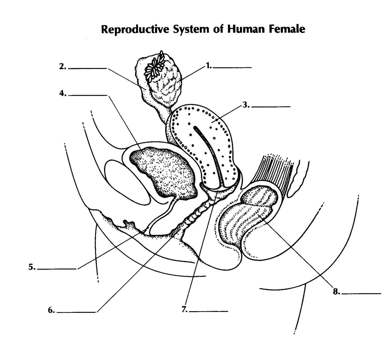 hight resolution of reproductive system of female