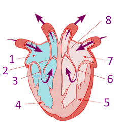 Circulatory System Diagram To Label Wiring For Motorcycle Hazard Lights Parts Of The Heart - Proprofs Quiz