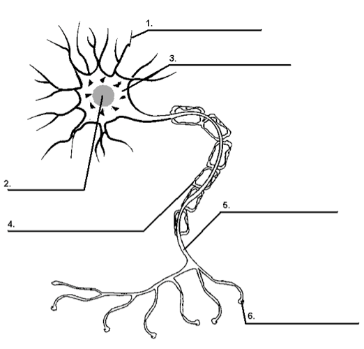 Nervous System Quizzes, Trivia, Questions & Answers