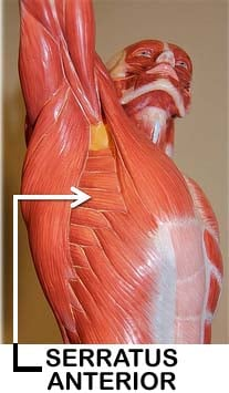 Muscles Of The Shoulder Girdle ProProfs Quiz