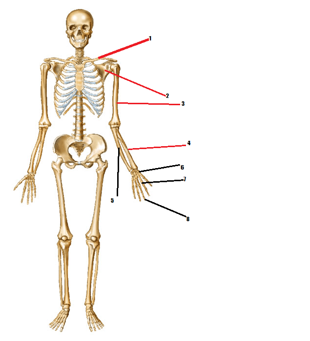 names of bones in human skeleton diagram wiring for a 3 way switch with 2 lights identify body quiz proprofs