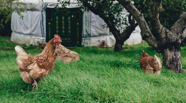 Backyard Chooks