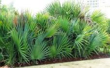 the ingredient of saw palmetto