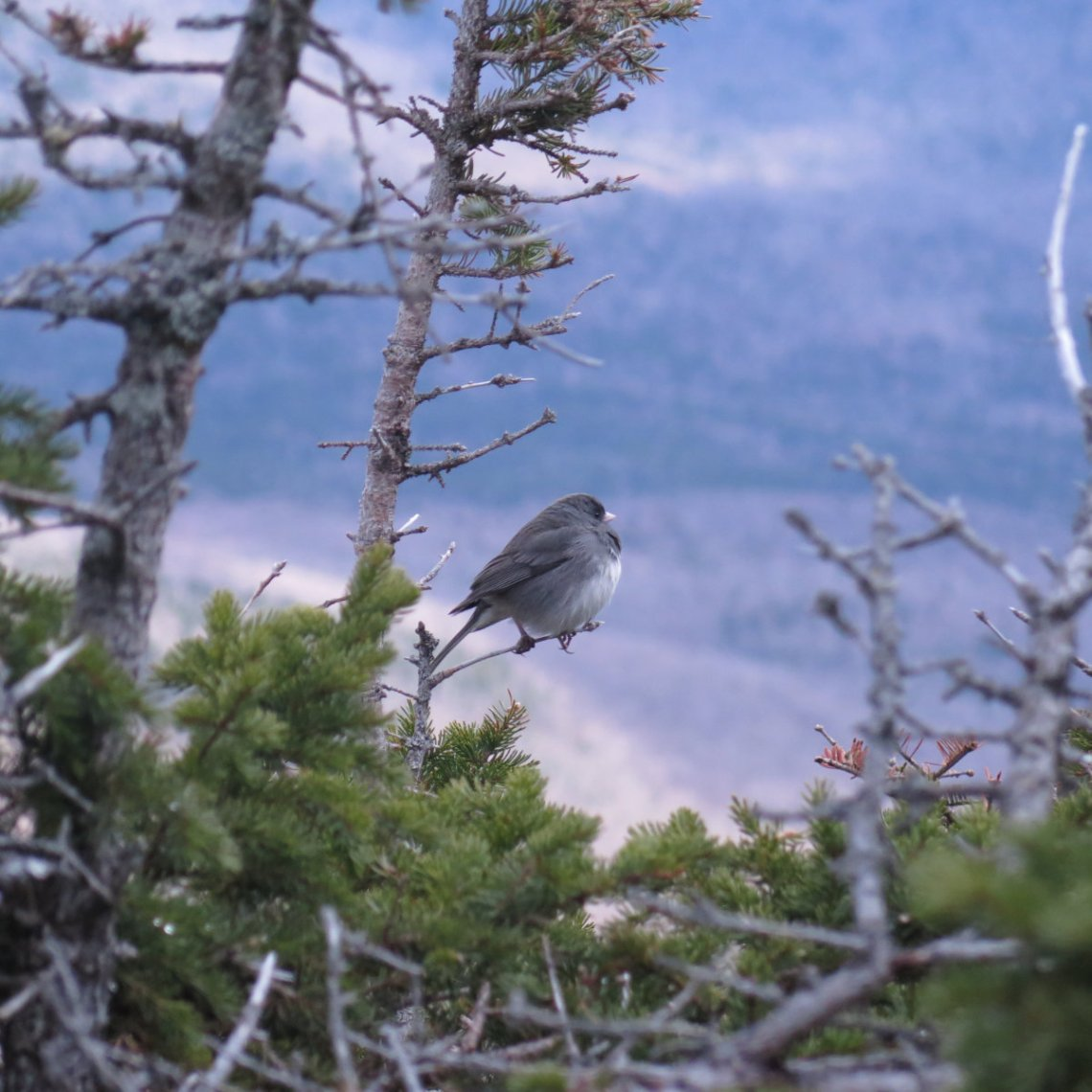 Wildcat-Slate-Junco-20190516