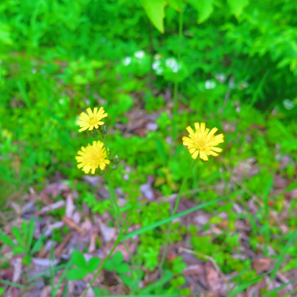 Twin-Mountain-Yellow-Hawkweed-20190620