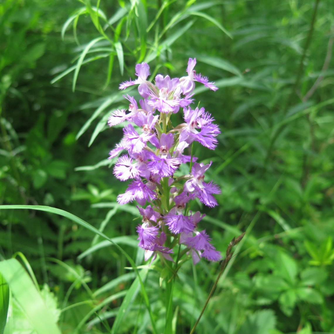Purple_Fringed_Orchid_Cabot_20190718