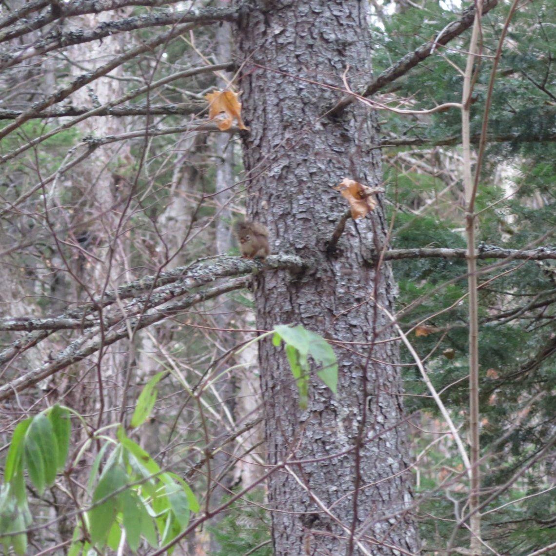 Red-Squirrel-Zealand-20191024