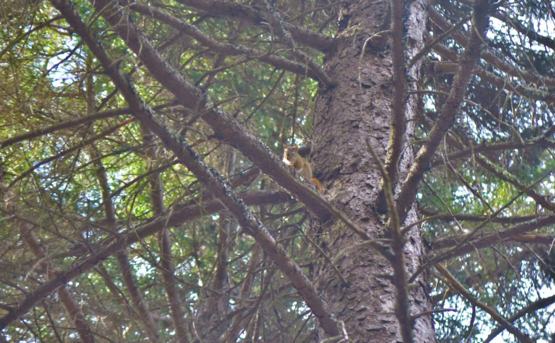 10-Sunapee-Newbury-Squirrel-20200512